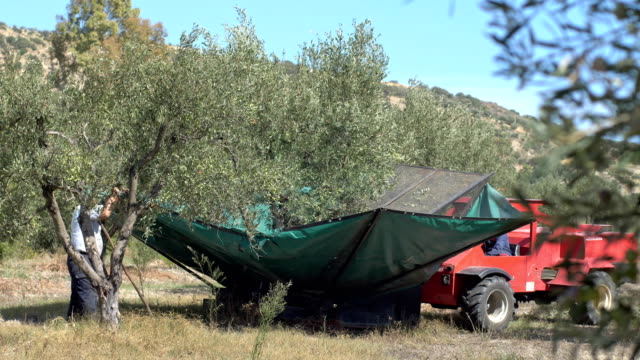 olives being shaken from the tree.traditional olives harvest in south of italy - oliva video stock e b–roll
