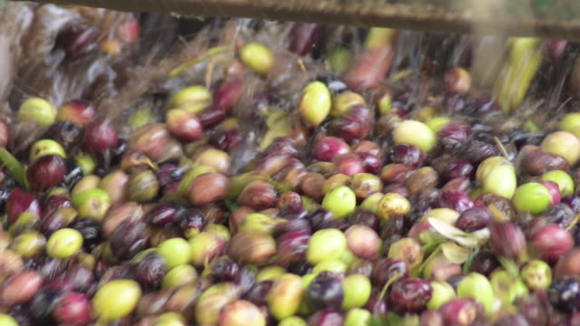 olives just harvested in a conveyor washing - olio d'oliva video stock e b–roll