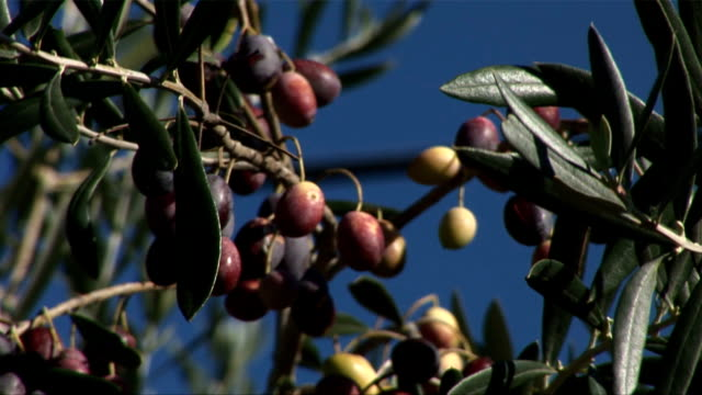 Olives on the tree video