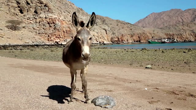 Oman, Musandam, Gulf of Oman, ancient Village of Haffa. Donkey on the beach video