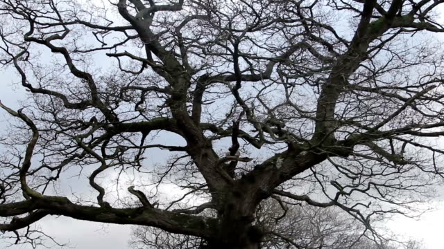 Ominous Bare Tree Branches in the English Peak District Bare trees reach up to a cloudy grey sky silhouetted, in the midst of English nature, the peak district twisted stock videos & royalty-free footage