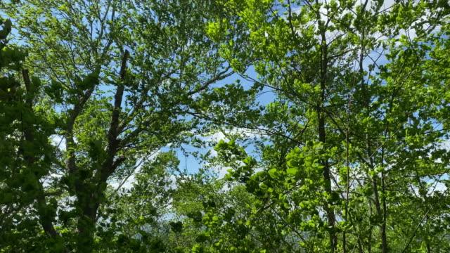 vídeos de stock, filmes e b-roll de em um dia ensolarado, mas com muito vento de junho, vídeo móvel de folhas resmungando em árvores altas. - alto descrição geral