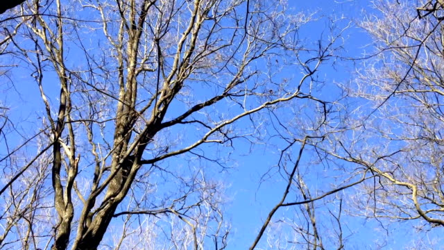 on a winter day the branches of the leafless trees sway in the wind colliding. - albero spoglio video stock e b–roll
