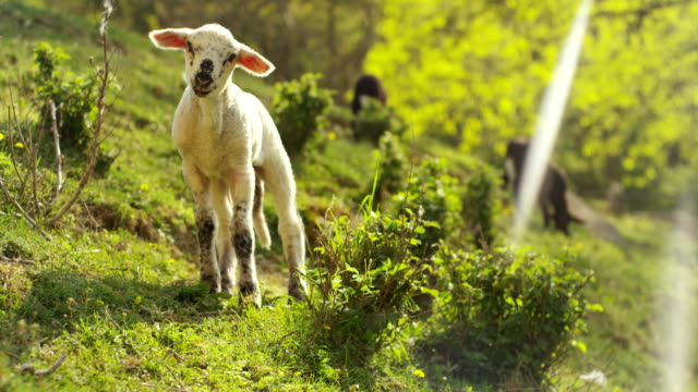 On the farm, a small beautiful white lamb in the nature, on the background of grass and trees, the concept: ecology, livestock, bio, farming.