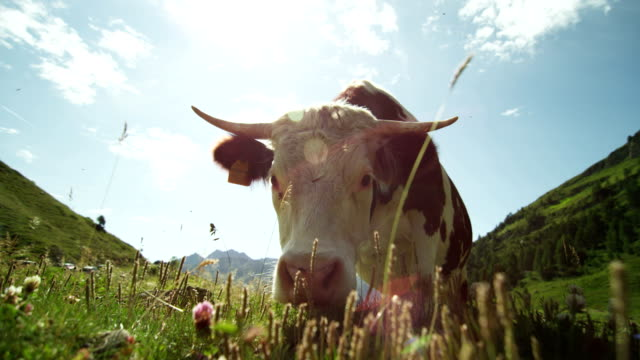 vídeos de stock e filmes b-roll de on the farm from the pen for a walk released a beautiful, well-groomed herd of cows (brown), beautiful filming from the side, on background of gras and trees - gado doméstico