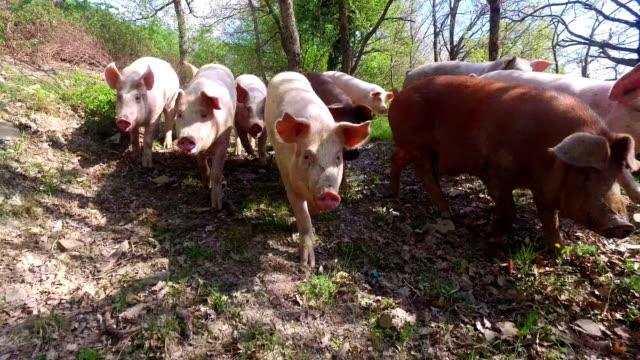 auf dem bauernhof, gruppe schöne schweine (rosa, braun) wurden für einen spaziergang entlang der bergseite, auf dem hintergrund des hanges und himmel sausen gelassen - schwein stock-videos und b-roll-filmmaterial