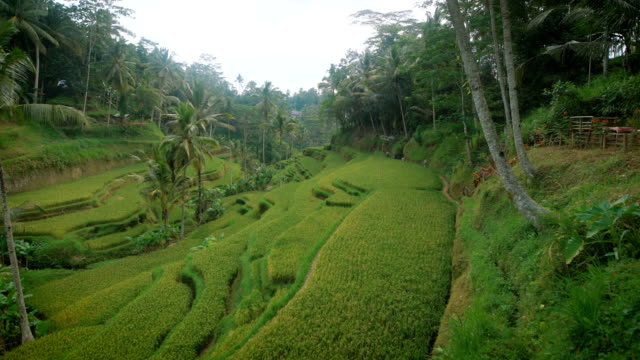 カスケードの斜面フィールドは米や他の植物が植えられました。熱帯の島の農業の領域の異常な領土。木とリゾート内の緑の丘のすてきなビュー - 異国情緒点の映像素材/bロール