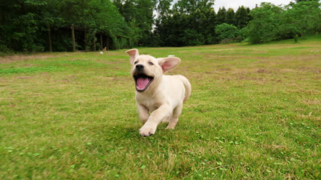 one adorable puppy running to the camera outdoor, 4k - cagnolino video stock e b–roll