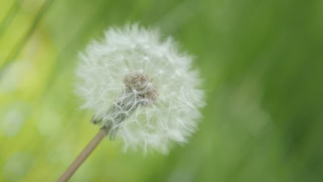 One and only in the field Taraxacum flower green natural background 4K