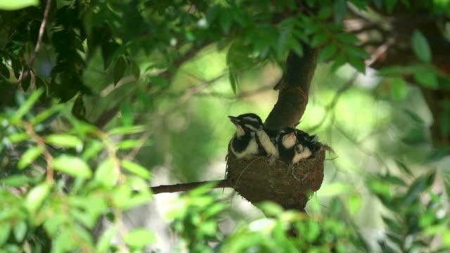 jeden skowronek sroka w gnieździe jest karmiony przez ptaka rodzica - młody ptak filmów i materiałów b-roll