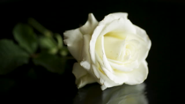 one beautiful white rose on black background video