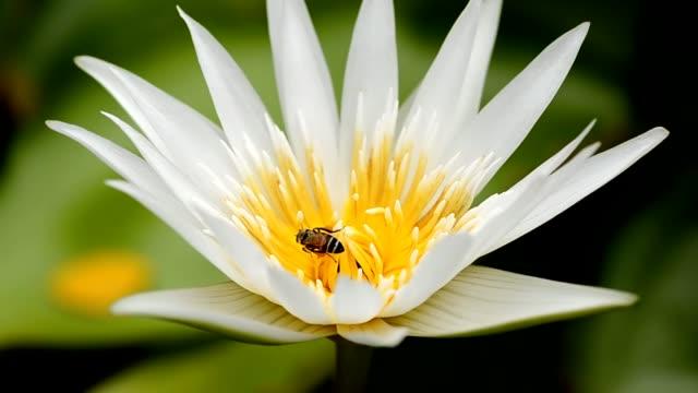 un'ape nel centro di loto - ape operaia video stock e b–roll