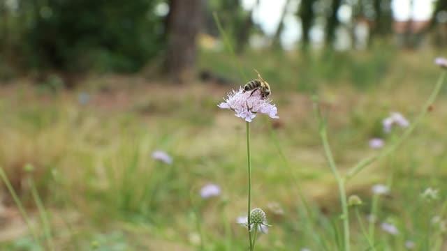 vídeos y material grabado en eventos de stock de una abeja en una flor silvestre rosa knautia (knautia arvensis) en un prado - flor silvestre