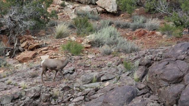 One bighorn sheep video