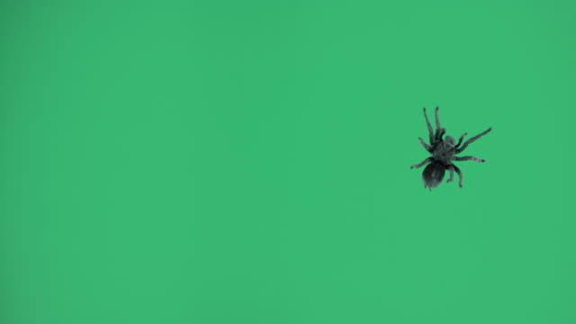 One black spider on green screen