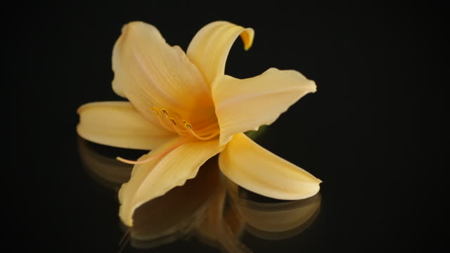 one blooming yellow lily on black background video