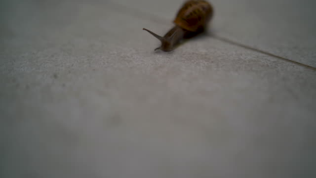 One brown-yellow snail crawls on the tile, creating sticky mucus on the tile until wet.