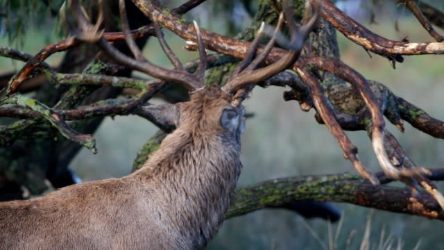 Autumn stag laying scent in rut 2012 HD video video