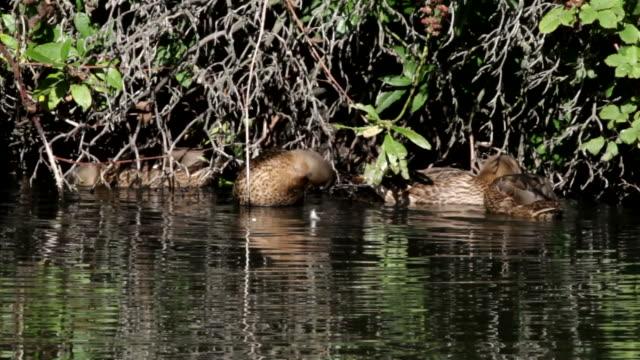 HD video four mallard ducks busy preening video