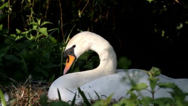 HD video female mute swan Cygnus olor arranging nest video