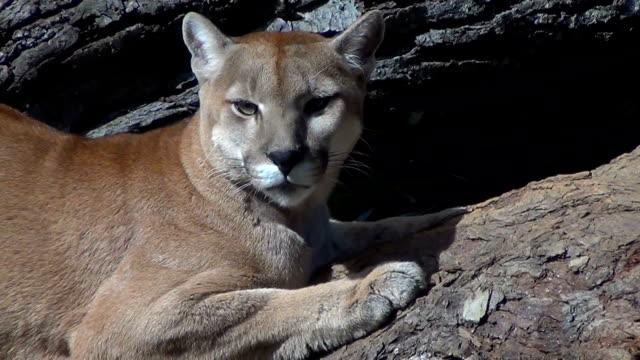 ein cougar (puma concolor) fühlt sich beobachtet und blättert vom baumstamm, wo sie lag. - bedrohte tierart stock-videos und b-roll-filmmaterial