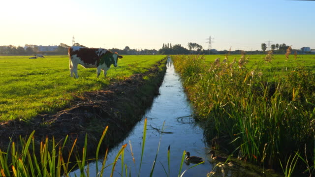 one cow  in green meadow. grazing cow in pasture at a clear blue sky, sun shining, two ducks in the water. pasture stock videos & royalty-free footage