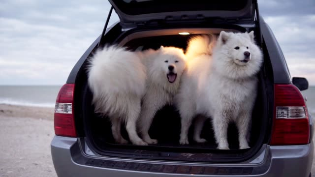 One cute samoyed dog is sitting in the car trunk while another one is jumping inside and barking. Slowmotion shot