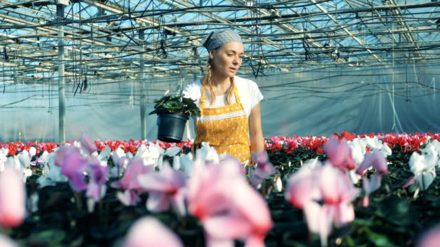 One florist moves pots with white cyclamen on a table in a glasshouse.