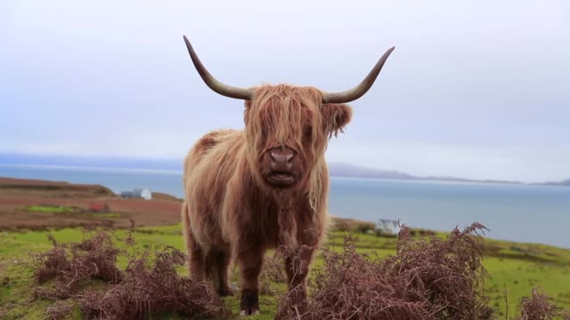 one Highland cattle in Highland,Scotland ,UK scotland stock videos & royalty-free footage