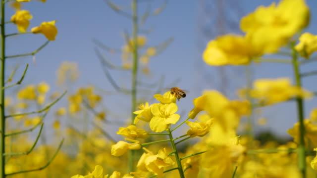 eine honigbiene schwebt auf gelben winterjasminblüten - jasmin stock-videos und b-roll-filmmaterial