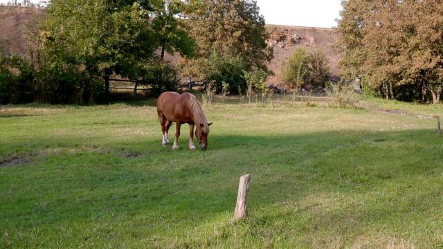 one horse grazing on the field - grzywa filmów i materiałów b-roll