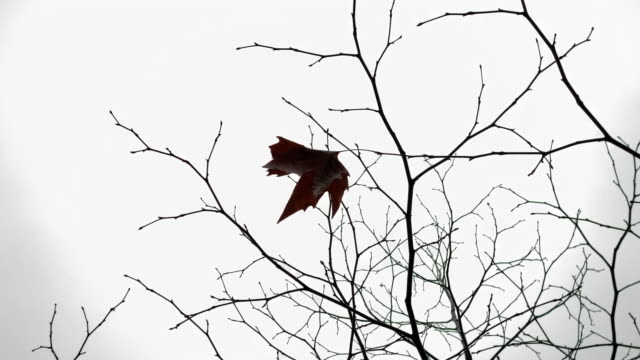 ein letztes blatt auf einem nackten ahornbaum zweigt im herbst gegen den düsteren himmel. - laub winter stock-videos und b-roll-filmmaterial