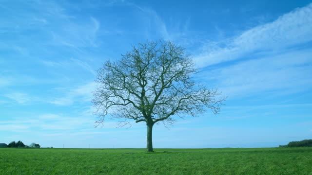one leafless tree in green field on background of blue sky - albero spoglio video stock e b–roll