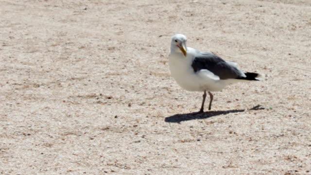 una gamba gabbiano sulla spiaggia, si trova sulla spiaggia e cercando cibo sullo sfondo spiaggia deserta - arto inferiore animale video stock e b–roll