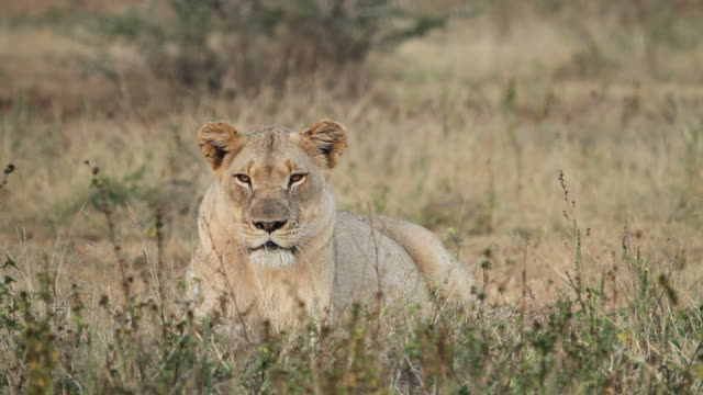 One lioness resting. A close-up shot of a lioness sitting and  looking towards the camera. natal stock videos & royalty-free footage