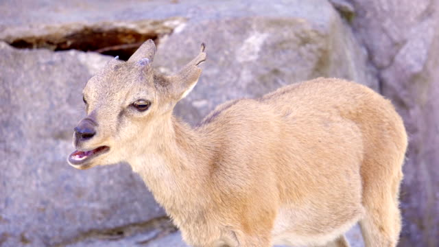 One little cute mountain newborn goat goatling playing on rocks. Small yeanling yelling screaming