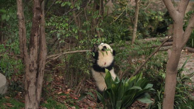 one lovely cub panda bear having fun in the tree, 4k - молодое животное стоковые видео и кадры b-roll