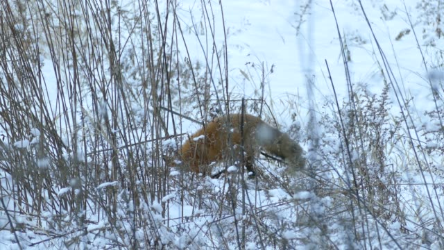 One minute shot of fox trying to dig up a prey from snow in the wild