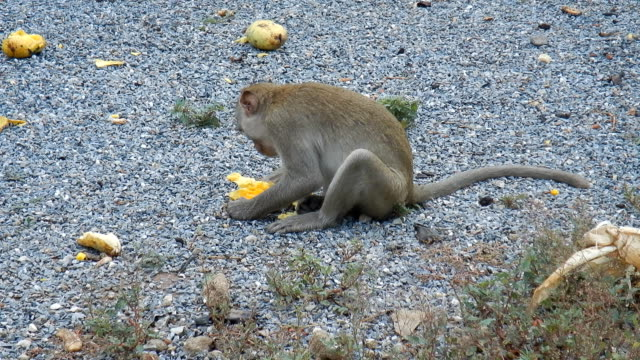 One monkey eating ripe mango.