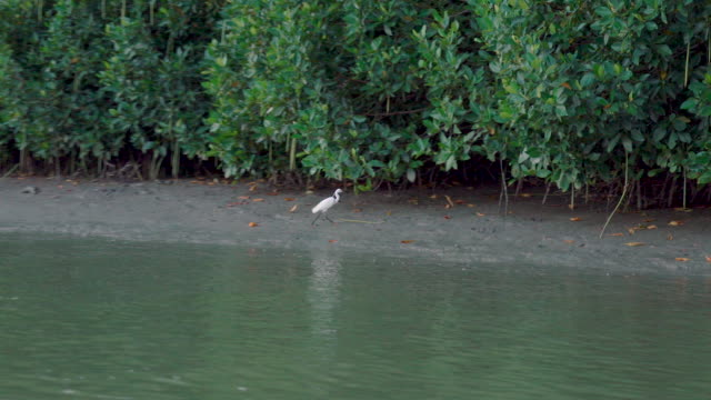 One of species of waterbirds walking around mangrove forests in Khao Daeng Canal, Thailand video