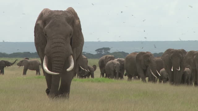 vídeos y material grabado en eventos de stock de uno de los elefantes más grandes en la naturaleza lleva a un grupo hacia el pantano - arbusto