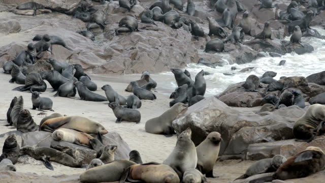 One of the largest fur seals colonies in world One of the largest colonies of cape fur seals in the world at Cape Cross Seal Reserve, Skeleton Coast, western Namibia namibia stock videos & royalty-free footage