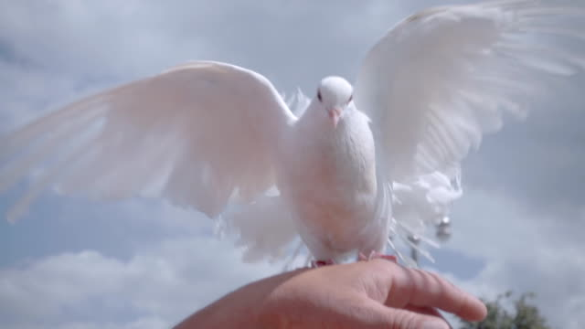 one of the two white doves sitting on hand owner and waving her beautiful wings - colomba video stock e b–roll