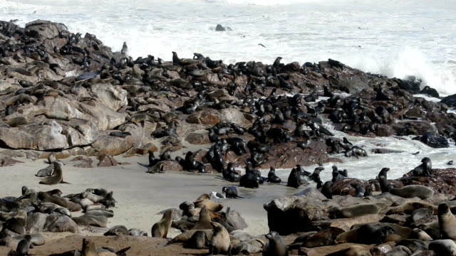 One of the world largest fur seals colonies One of the largest colonies of cape fur seals in the world at Cape Cross Seal Reserve, Skeleton Coast, western Namibia animal whisker stock videos & royalty-free footage