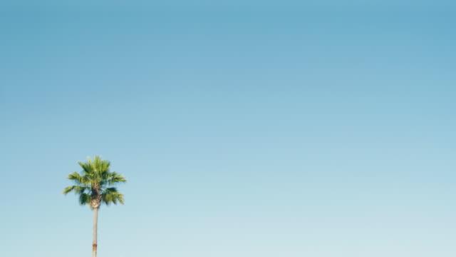 one palm tree on a beautiful blue sky in california - palm tree filmów i materiałów b-roll