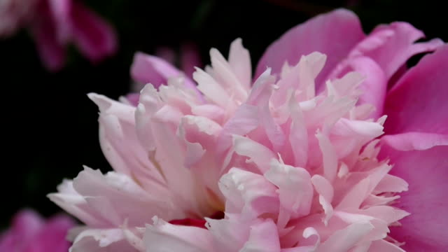 One pink peony flower close up on the flowerbed motion on the wind. HD video footage static camera video