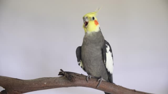 4K one pretty male cockatiel perching bird parrot cute rosy cheeks and yellow crested head  grey body video a portrait shot with isolated on plain background with copy space