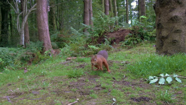 One red squirrel looking for food before running towards the camera in Scottish woodland on a summer morning video