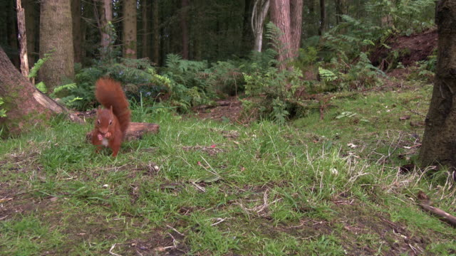 One red squirrel looking for food on the ground and then eating a nut in an area of Scottish woodland video