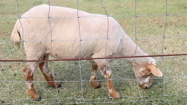 one sheep eating the grass video